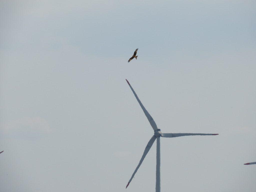 Rotmilan vor Windenergieanlage - bald Schlagopfer?