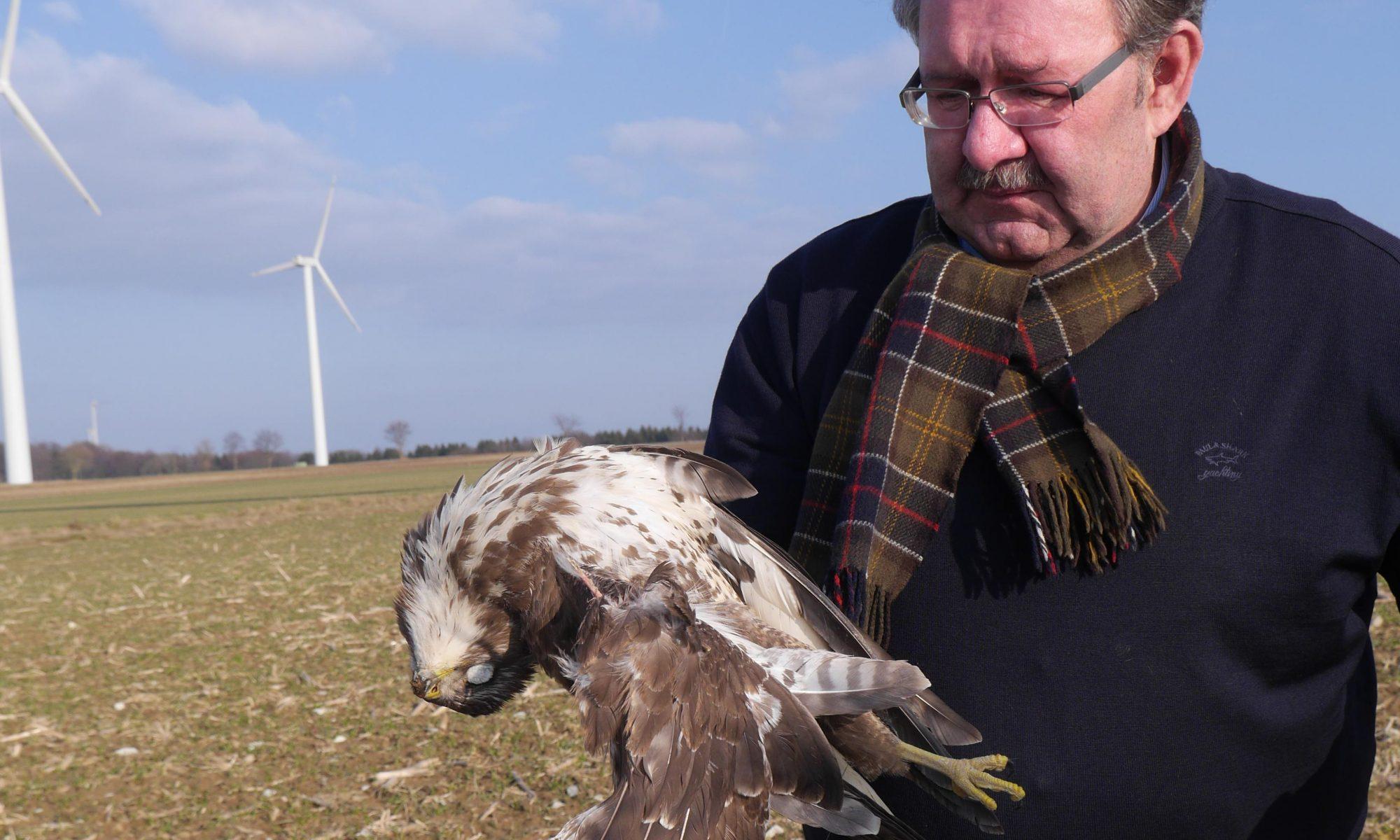 Toter Mäusebussard unter Windenergieanlage bei Borchen – ein weiteres Schlagopfer