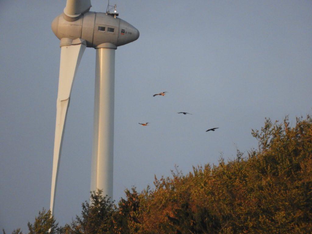 Windräder töten Greifvögel